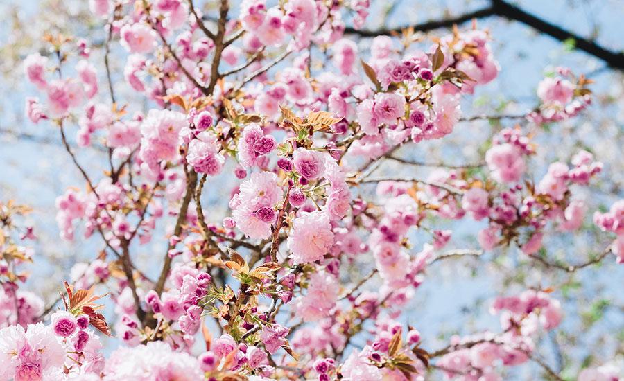 Výsledek obrázku pro cherry blossom BERLIN